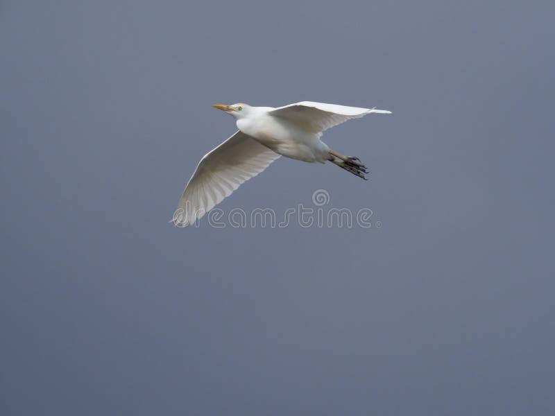 De Aigrette van het vee, ibis Bubulcus royalty-vrije stock foto's