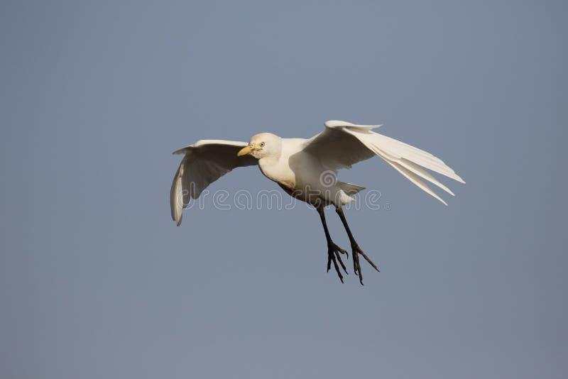 De Aigrette van het vee, ibis Bubulcus stock foto