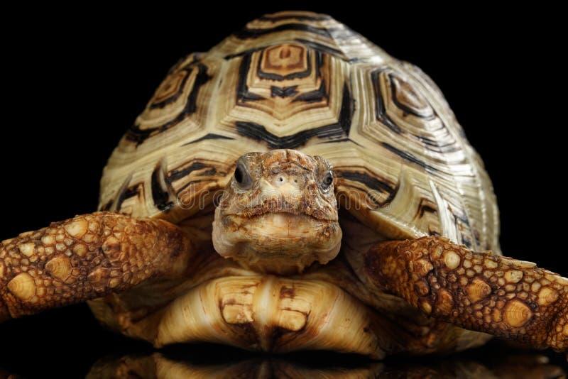 De albino van de luipaardschildpad, Stigmochelys-pardalis met witte shell Geïsoleerde Zwarte Achtergrond stock foto's