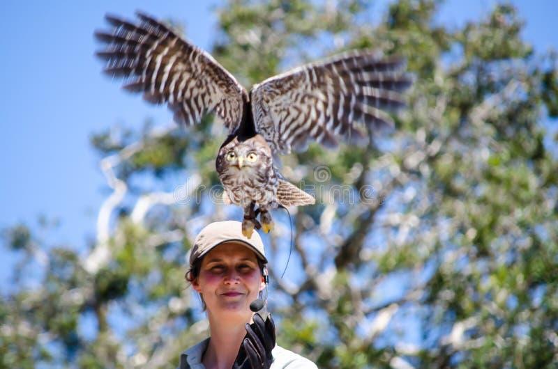 De alerte vliegersvogel staat van vogeltrainer te vliegen op het punt indient Vluchtvogels toont bij Taronga-Dierentuin royalty-vrije stock foto