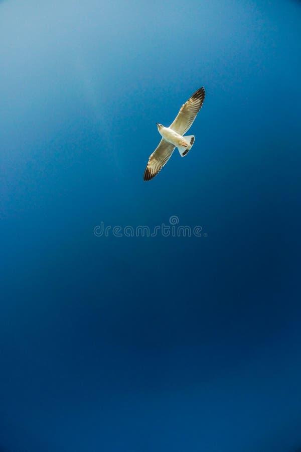 De alleen zeemeeuw stijgt vrij en prachtig in de blauwe hemel royalty-vrije stock foto