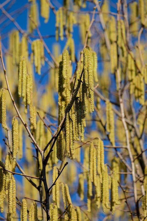 De allergielijders zijn niet gelukkig over het, zeer vroeg bloeien de hazelnootstruiken dit jaar royalty-vrije stock foto
