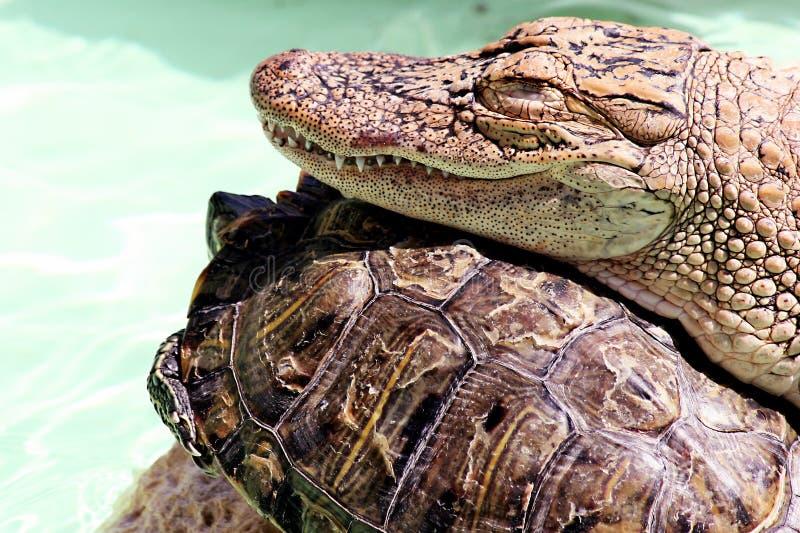 De alligator en de Schildpad stock afbeeldingen