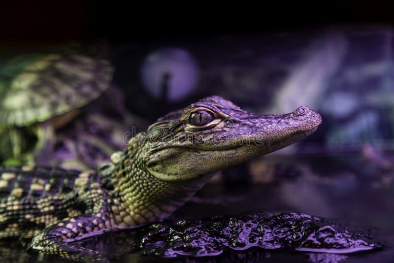 De Alligator van New Orleans stock afbeeldingen