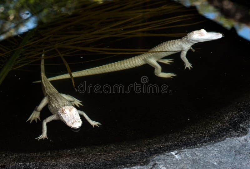 De alligators van de babyalbino in water royalty-vrije stock foto