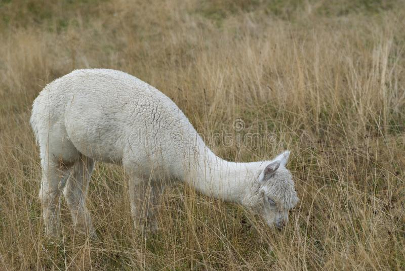 De alpaca eet gras in een landbouwbedrijf tijdens een bewolkte dag stock foto
