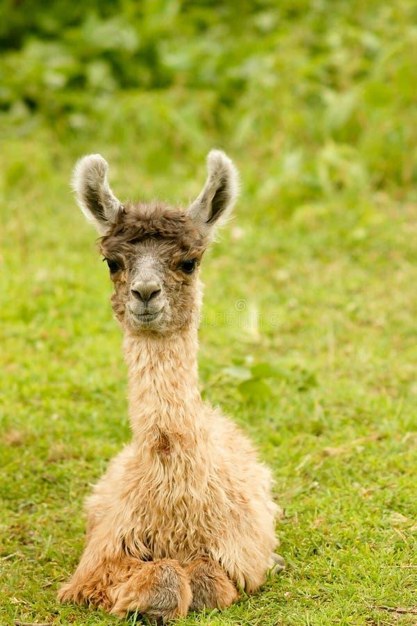 De Alpaca van de baby royalty-vrije stock foto's