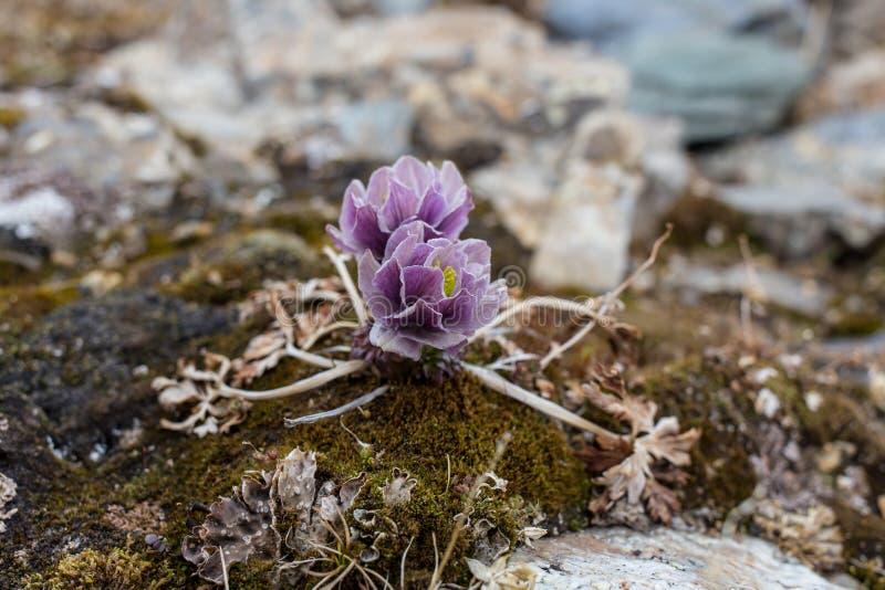 Download De Alpiene Bloemen Van De Rozenberg Van De Alpen Stock Afbeelding - Afbeelding bestaande uit tuin, bloem: 73976859