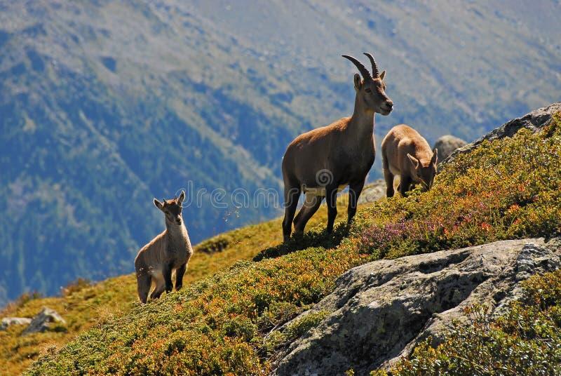 De alpiene familie van de Steenbok stock afbeeldingen