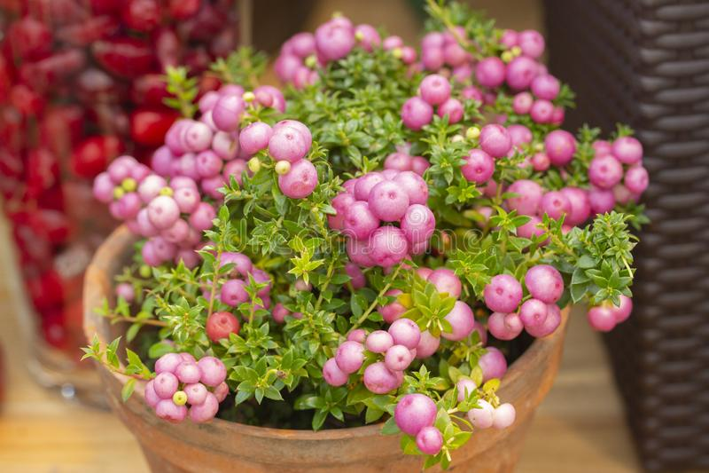 De altijdgroene struik van Pinkberry van Pernettyamucronata met roze bessen Sierplant van de heidefamilie gaulteriya draagt roze royalty-vrije stock afbeelding