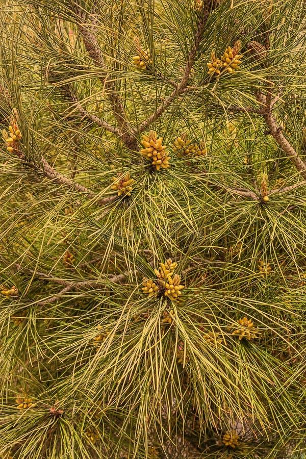 De altijdgroene tak van de pijnboomboom met jonge spruiten en verse groene knoppen, naalden stock fotografie