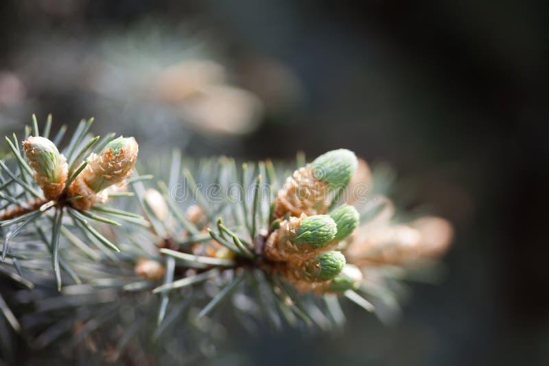 De altijdgroene tak van de pijnboomboom met jonge spruiten en verse groene knoppen, naalden De lentescène, zachte nadruk stock fotografie
