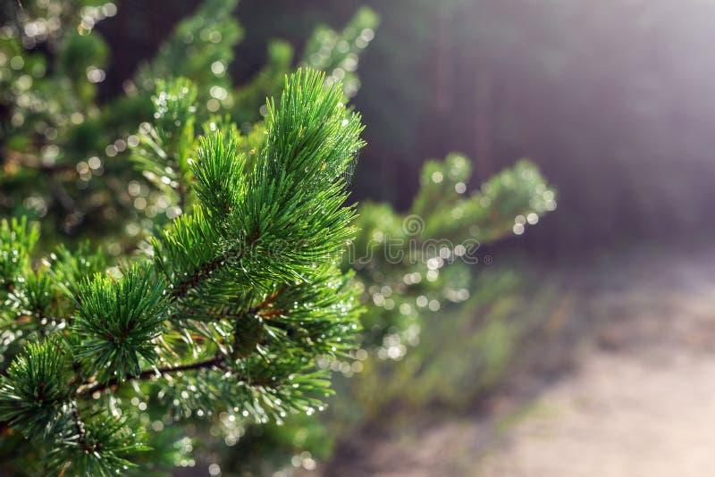 De altijdgroene tak van de pijnboomboom in warm ochtendlicht De naald van de close-up naaldboom met spinneweb in zonsopgang Mooi royalty-vrije stock afbeelding