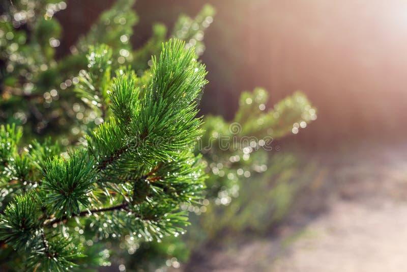 De altijdgroene tak van de pijnboomboom in warm ochtendlicht De naald van de close-up naaldboom met spinneweb in zonsopgang Mooie royalty-vrije stock afbeeldingen