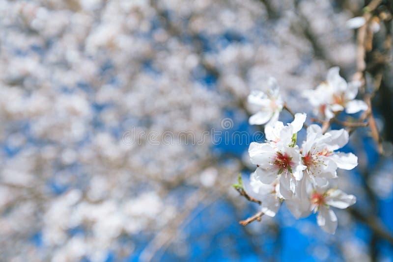 De amandelboom bloeit blosson en blauwe hemel royalty-vrije stock afbeelding