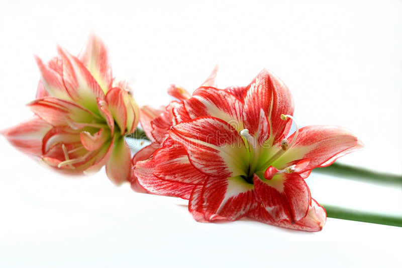 De Amaryllis van de lente stock afbeeldingen