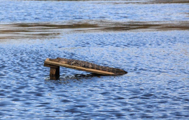 Amerikaans KrokodilleSc van Charleston stock afbeeldingen