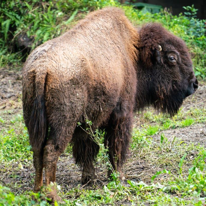 De Amerikaanse bizon of de Amerikaanse buffels sluiten het opstaan met natuurlijke achtergrond stock fotografie