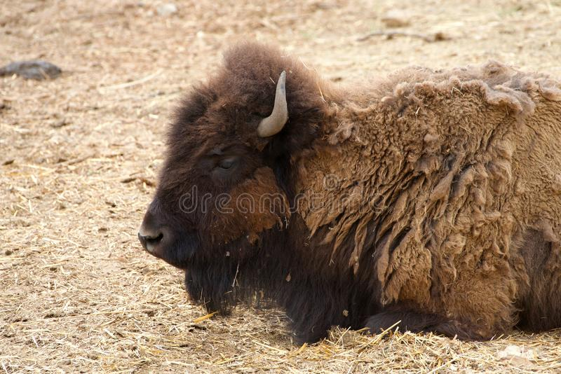 De Amerikaanse bizon die in stro leggen, sluit omhoog stock foto
