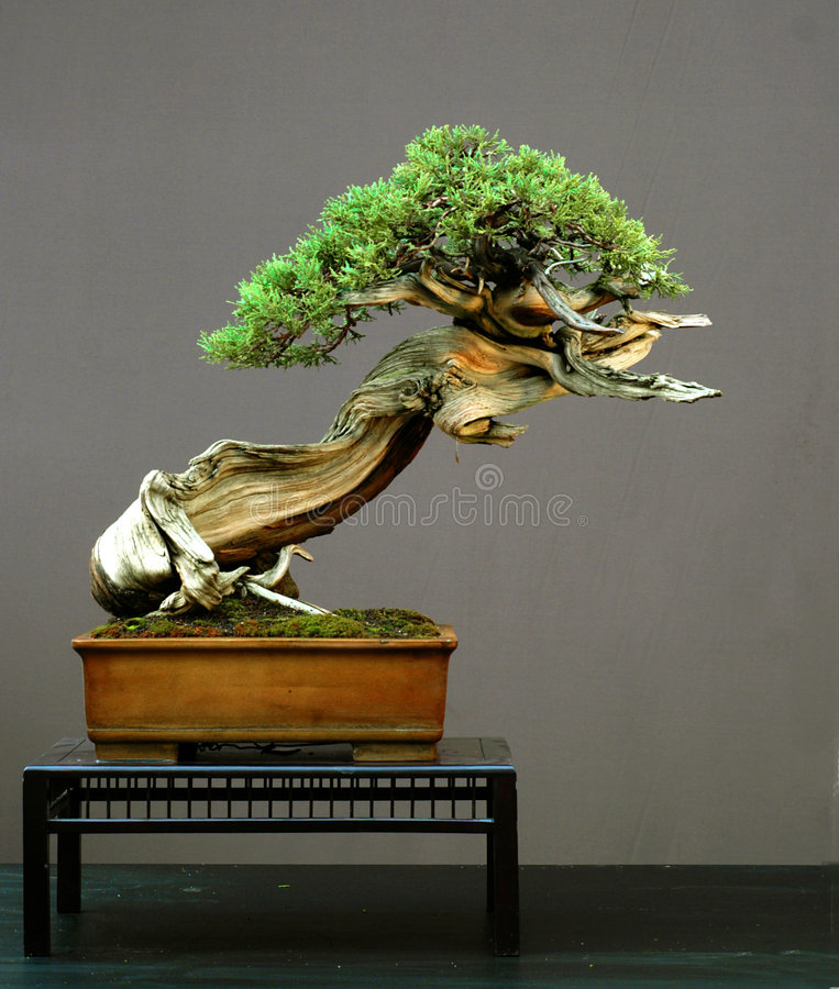 De Amerikaanse bonsai van de jeneverbes, stock foto