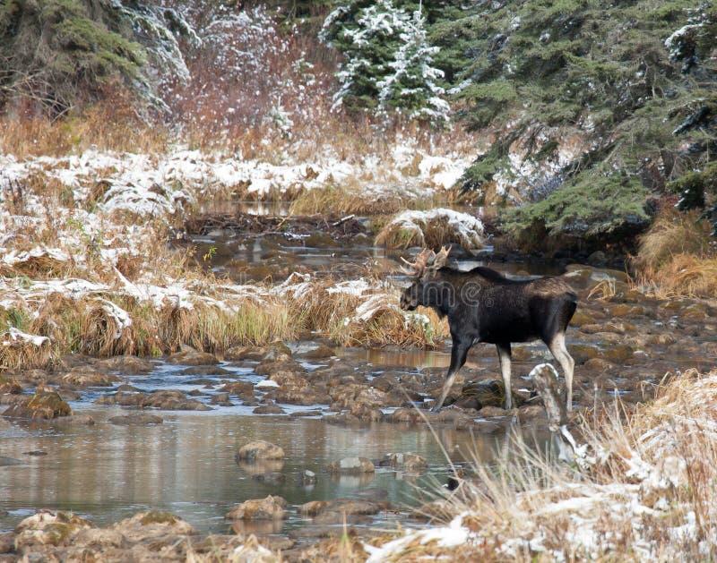De Amerikaanse elanden van de stier royalty-vrije stock afbeelding