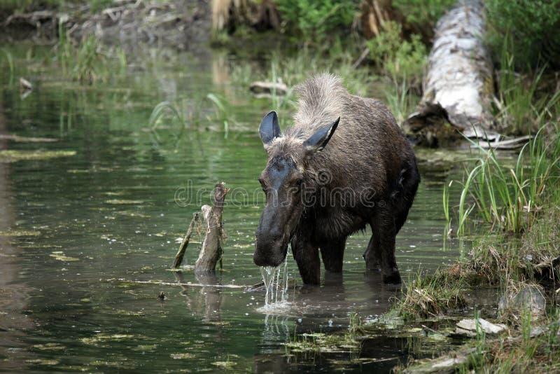 De Amerikaanse elanden van Montana