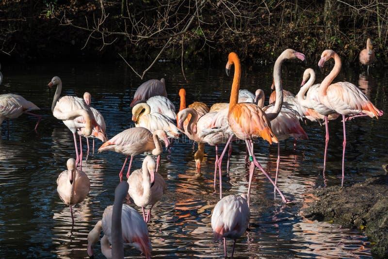 De Amerikaanse flamingo, Phoenicopterus ruber is grote species van flamingo stock fotografie
