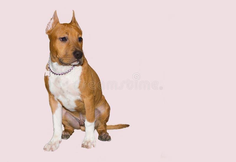 De Amerikaanse hond van Stafforshire Terrier op een lichtrose achtergrond stock afbeeldingen