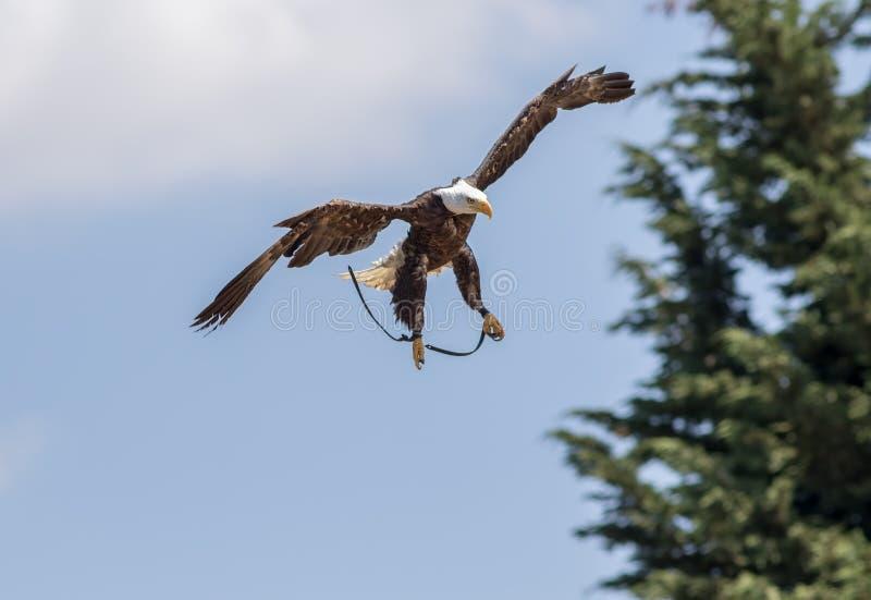 De Amerikaanse kale simulatie van de adelaarsaanval bij valkerijvertoning stock foto