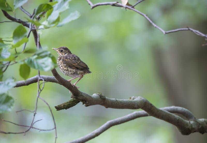 De Amerikaanse Robin Turdus-migratorius vrouwelijke jongere streek op een boomtak neer met bladeren, groene bokehachtergrond, exe stock fotografie
