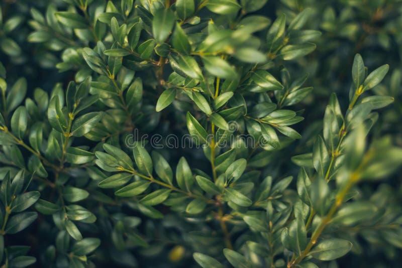 De Amerikaanse veenbessenachtergrond van de bladeren wilde bes De groene Ornamenten van Kerstmis De natuurlijke achtergrond van d stock foto