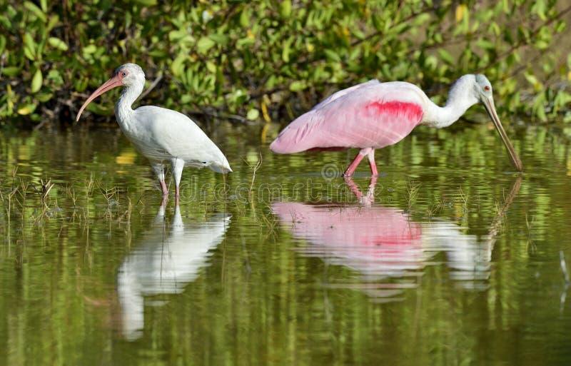 De Amerikaanse witte ibis (Eudocimus-albus) stock fotografie