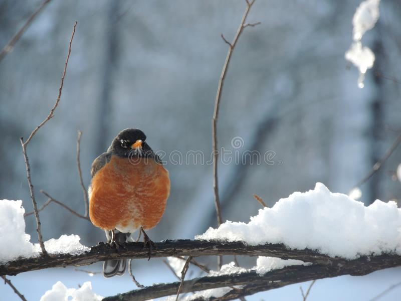 De Amerikaanse zitting van Robin op sneeuw behandelde tak stock foto's