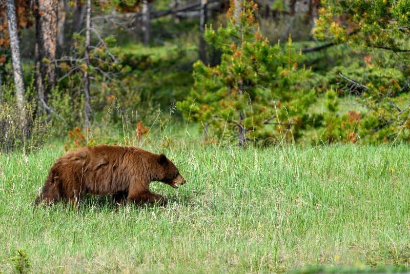 De Amerikaanse zwarte draagt het americanus weidende gras van Ursus in het Nationale Park van Banff royalty-vrije stock afbeeldingen