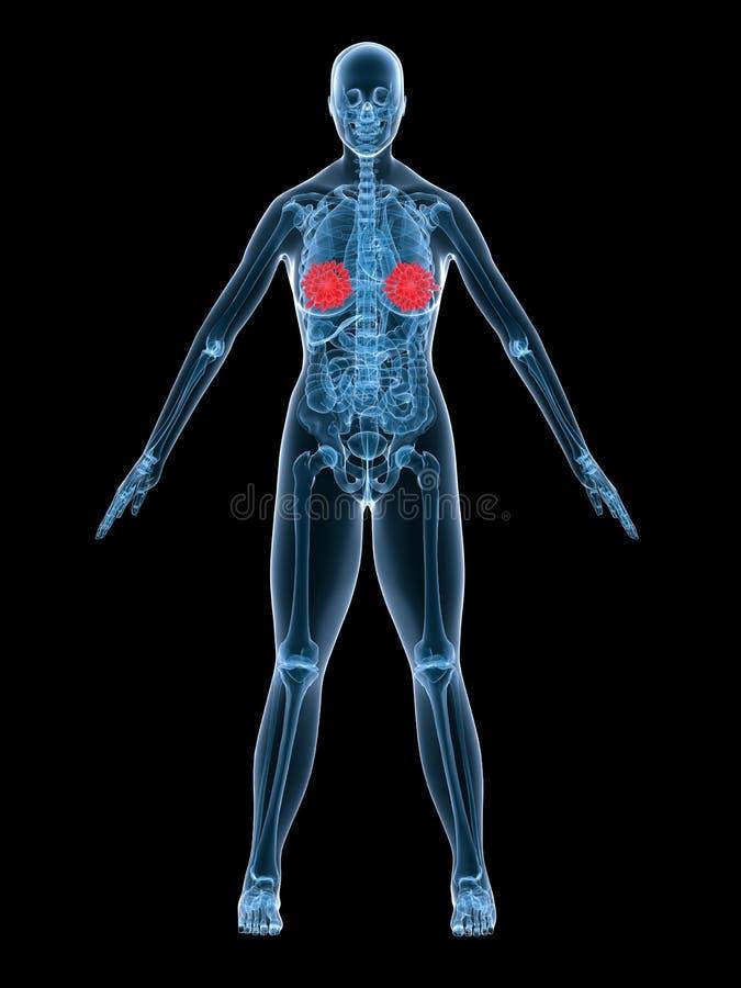 De anatomie borstklier van de röntgenstraal vector illustratie