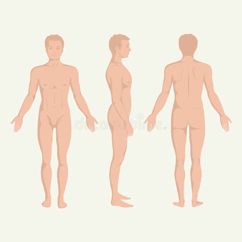 De anatomie, de voorzijde, de rug en de kant van het mensenlichaam royalty-vrije illustratie