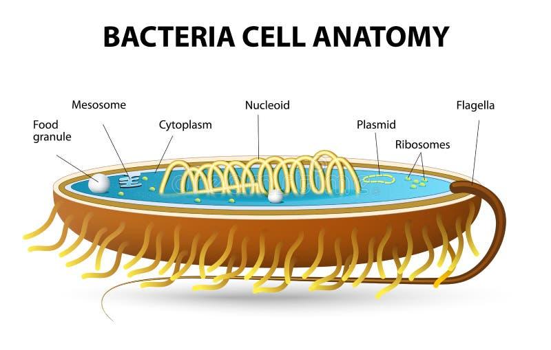 De anatomie van de bacteriëncel royalty-vrije illustratie