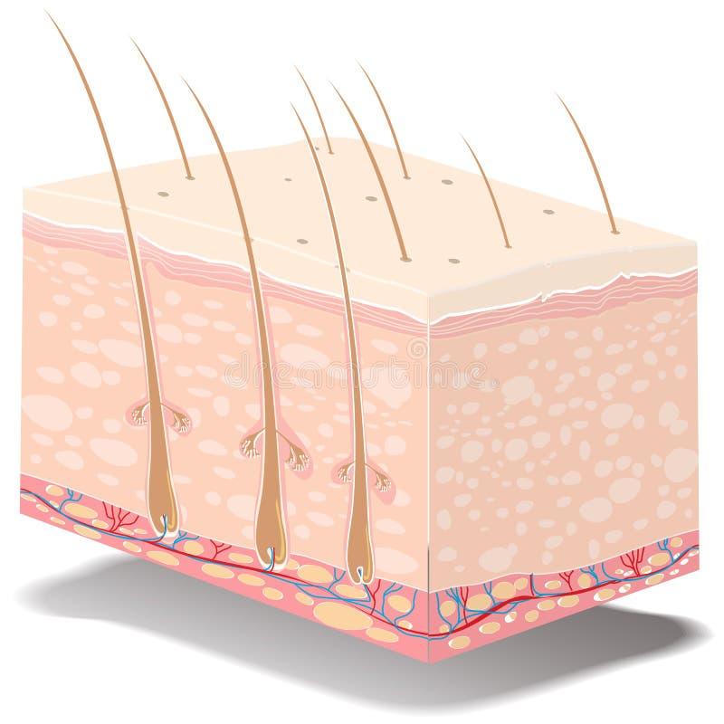 De anatomie van de huid royalty-vrije illustratie