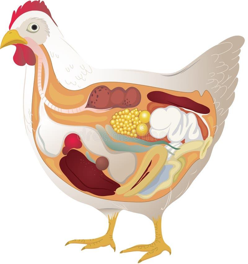De anatomie van de kip vector illustratie