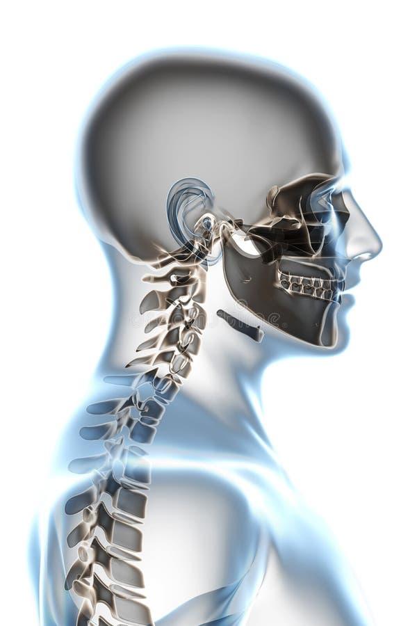 De Anatomie van de röntgenstraal op Wit vector illustratie