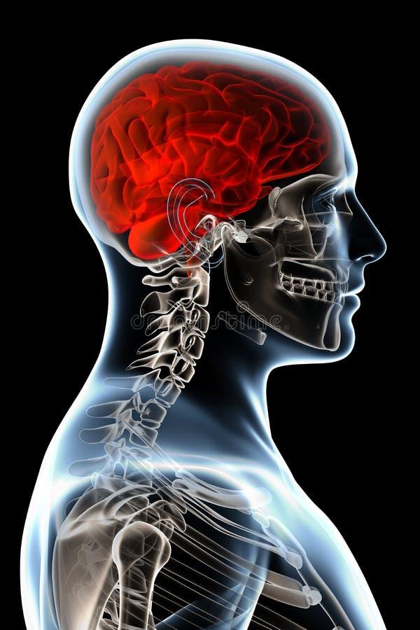 De Anatomie van de röntgenstraal op Zwarte stock illustratie