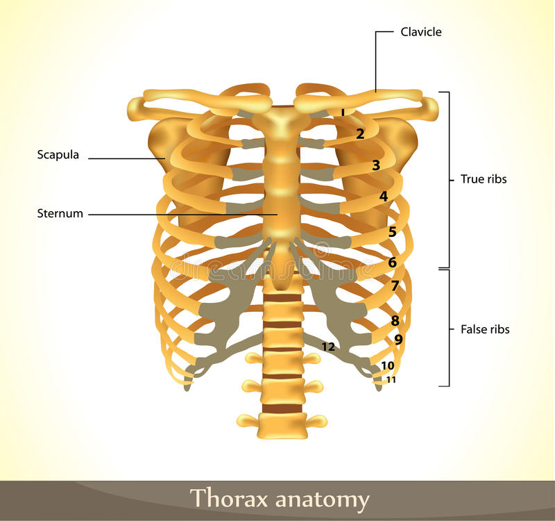 De anatomie van de thorax vector illustratie