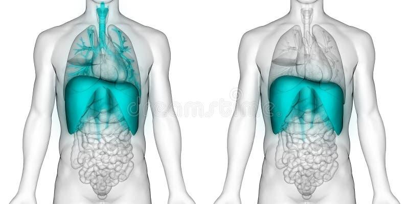 De Anatomie van het het Ademhalingssysteemdiafragma van menselijk Lichaamsorganen vector illustratie