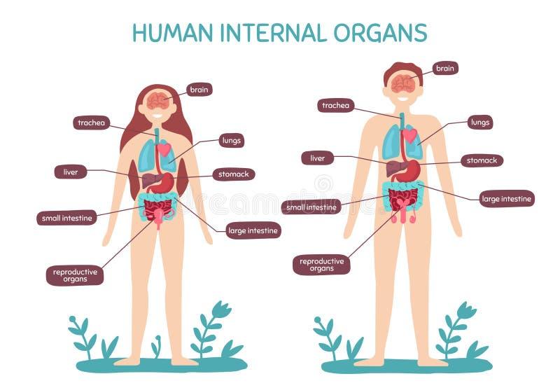 De anatomie van het beeldverhaal menselijke lichaam Mannelijke en vrouwelijke interne organen, de grafiek vectorillustratie van d vector illustratie
