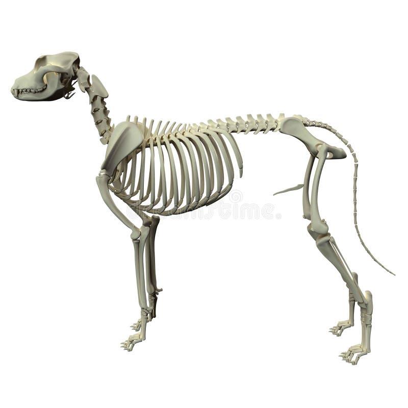 De Anatomie van het hondskelet - Anatomie van een Mannelijk Hondskelet royalty-vrije illustratie