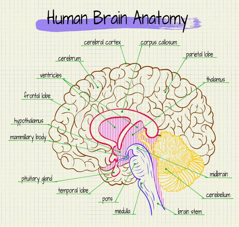 De anatomie van het menselijke hersenen zijaanzicht royalty-vrije illustratie