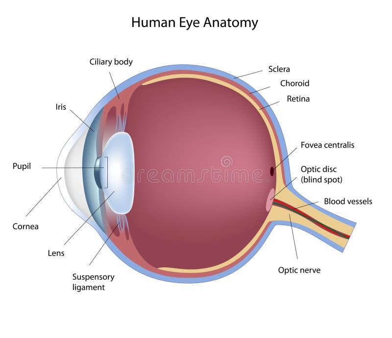 De anatomie van het oog royalty-vrije illustratie