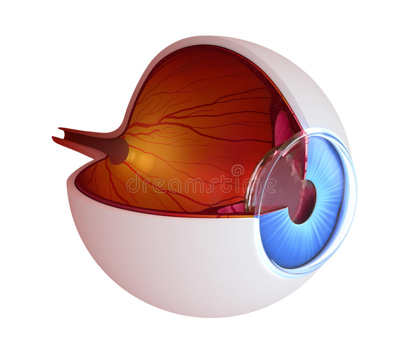 De anatomie van het oog - binnenstructuur royalty-vrije illustratie