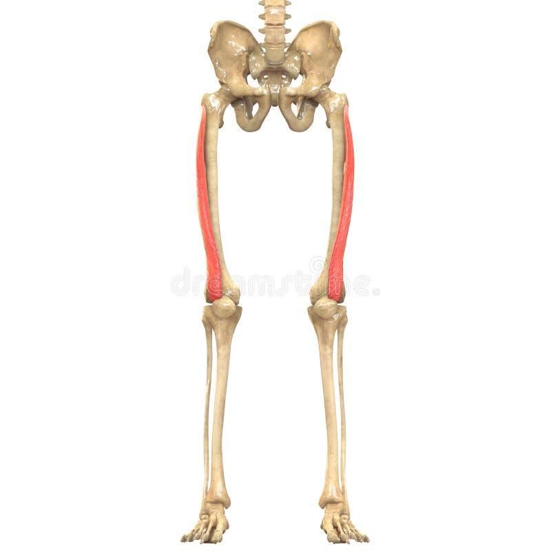De Anatomie van menselijk Lichaamsspieren (Vastus Lateralis) royalty-vrije illustratie