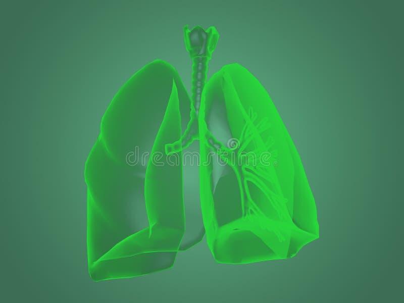 De anatomie van röntgenstraallongen vector illustratie